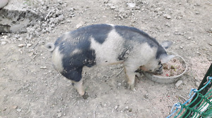 Up for sale 200 pound pig