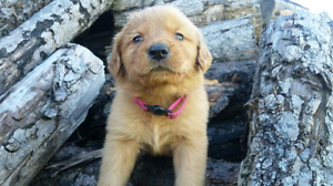 Pure Bred Golden Retriever puppies for sale