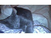 Missing: grey kitten