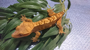 Sub Adult Female Crested Gecko.