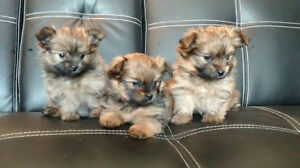Teacup Yorkie mix Teaup Pomeranian puppies for sale(ONLY 1 LEFT)