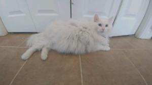 Perisan cat free to good home