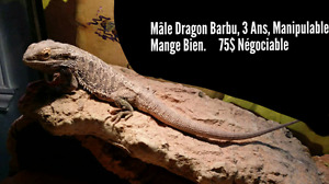 Male Dragon Barbu