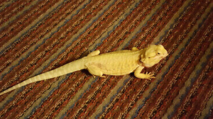 Sweet, kid friendly Bearded Dragon.  Comes with everything.