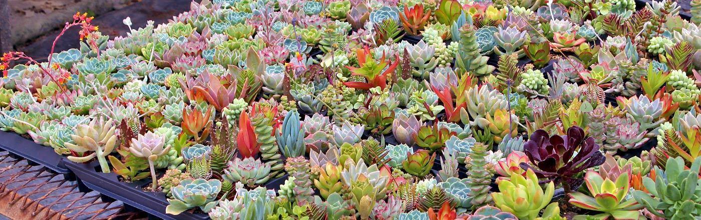 Succulents Depot