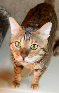 Retired 6 Year Old Registred Bengal Male