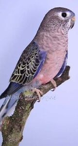 Female Bourke Parakeet 6 to 12 months old