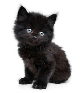 LOOKING FOR MALE BLACK KITTEN WITH BLUE EYES Kitchener / Waterloo Kitchener Area image 2