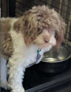 Caniche toy, brun / blanc.  Toy poodle, brown / white