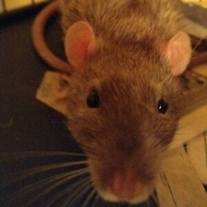 male rats 9 months different colors some dumbos