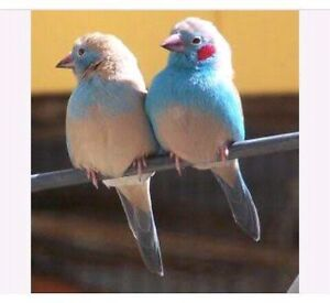 Cordon blue finches