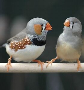 Zebra Finches for sale, males and females, beautiful feathering