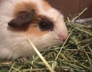 *SICK GUINEA PIG IN NEED OF HOME PLEASE CONTACT