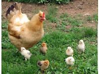 Day old chicks / pullets / chickens/ hens
