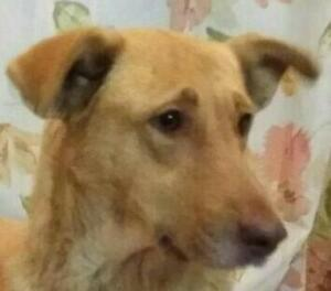 "Young Female Dog - Yellow Labrador Retriever-Shepherd: ""Cassie"""
