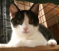 """Young Female Cat - Domestic Short Hair-black and white: """"Taylor"""""""