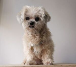 "Adult Female Dog - Shih Tzu-Maltese: ""Blixa"""