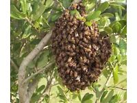 HONEY BEES Swarm lost in your area collection swarm in WOKING,GUILDFORD,ADDLESTONE SURREY area