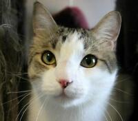 "Adult Male Cat - Domestic Short Hair-Tabby: ""Snapdragon"""
