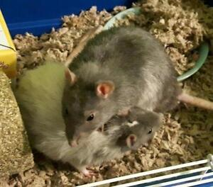 "Adult Male Small & Furry - Rat: ""Bill and Ted"""