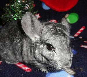 "Adult Female Small & Furry - Chinchilla: ""Sadie"" Oakville / Halton Region Toronto (GTA) image 2"