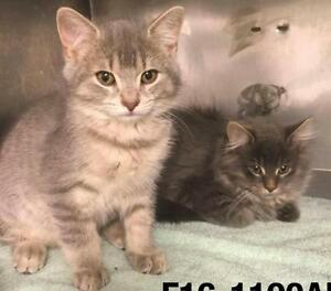 """Baby Male Cat - Domestic Short Hair - gray and white: """"Crawford"""""""