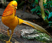 Yellow Golden Pheasants