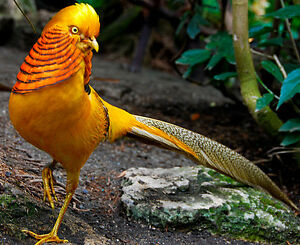 Wanted Yellow Golden pheasant hens