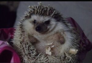 Female Hedgehog With Everything For Sale