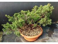 Quality Kishu Shimpaku Juniper Wood Prebonsai