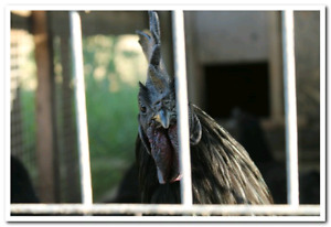 Ayam Cemani pair for sale