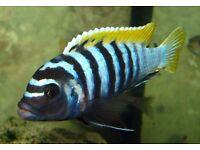 Tropical fish Jalo Reef cichlid