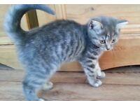 Pedigree British Shorthair Kittens