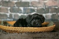 Gorgeous Little of Havanese Puppies