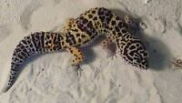 Amazing Leopard gecko with everything needed