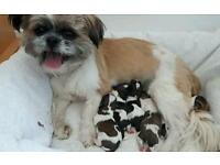 5 shih tzu puppies boys