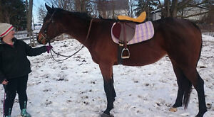 8 Year old TB mare for sale