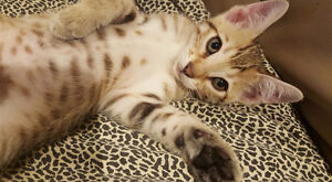Exotic Bengal Kittens - 1st shot and deworming included