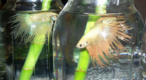 New colorful Betta Fish just arrived! Males+Females