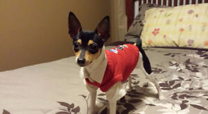 Toy Fox Terrier CKC/AKC reg.