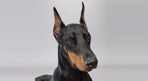 Looking for a Doberman