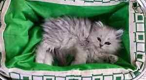 Purebred dollface shaded silver, chinchilla,,and golden persians