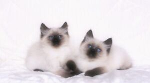 Seal   Point Ragdoll kittens   for adoption