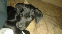 BEAUTIFUL LAB X PUP AVAIL @ PETS NEED LOVE 2 RESCUE