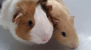 Free female Guinea Pigs