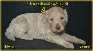 Mini goldendoodle ! 2 pup left on 7