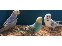 Young Budgies - Assorted Colours - Cage also Available.