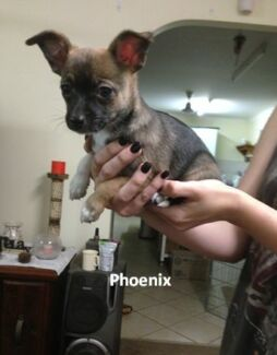 Mini Foxie x Chihuahua Puppies for Sale Spring Creek Lockyer Valley Preview