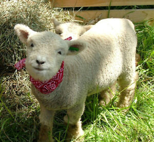 Sheep and Goat Sale October 14