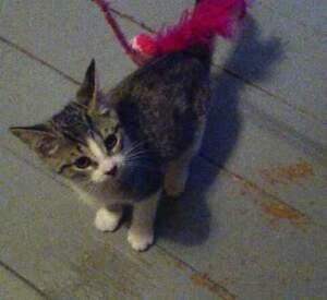 Tabby siamese cross kittens- brown& white or solid tabby